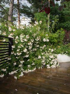Lykkefund - hagens blomsterbombe - Moseplassen Plants, Outdoor, Gardening, Space, Google, Courtyards, Lawn And Garden, Outdoors, Floor Space