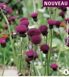 #ClippedOnIssuu from Catalogue Promesse de fleurs PE 2015 This thistle is called cirsium in Latin.