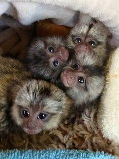 Pygmy Marmoset Monkeys for Sale Baby Monkey Pet, Tiny Monkey, Finger Monkey For Sale, Pet Monkey For Sale, Cute Little Animals, Cute Funny Animals, Tiny Baby Animals, Funny Monkeys, Little Monkeys