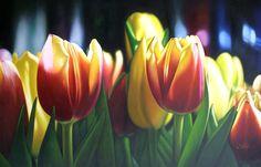 Tulipanes- 1,60 x 1,60 -Oleo sobre lienzo.