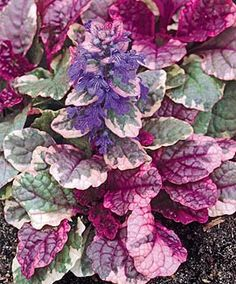 I'm really enjoying Burgundy Glow Ajuga right now, in my Seattle area garden.