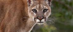 Obrigado Humanos: Puma Concolor é oficialmente declarado extinto