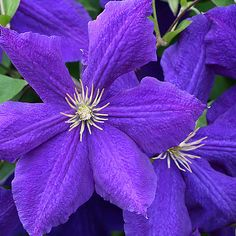 ~~ Jackmanii Clematis ~~ always wanted to try these; grow well in our climate on a white trellis or fence.