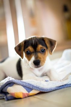 jack russell terrier puppies are the cutest things ever Jack Russell Puppies, Jack Russell Terriers, Cute Puppies, Cute Dogs, Dogs And Puppies, Doggies, Maltese Puppies, Baby Animals, Cute Animals