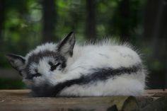 Sleeping Arctic Marble Fox // at Papanack Zoo in Ottawa, Canada