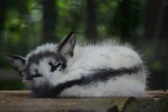 Sleeping Arctic Marble Fox // at Papanack Zoo in Ottawa, Canada