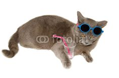 Would you like to drink something with sweet cat? #Cat #Animals #Pets #Domestic #WhiteBackground #StudioPortrait  #Drink #Summer #Crazy #Sunglasses #Funny #Chartreux #Kitty #Kitten