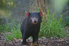 the tasmanian devil    it is facing a tough time at the moment - disease is making their numbers incredibly low, it is on the endangered list..