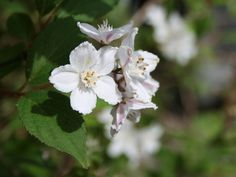 Kalmiendeutzie - Deutzia kalmiiflora