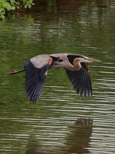 Great Blue Heron in flight skimming just above the water. Exotic Birds, Colorful Birds, Bird Identification, Bird Wings, Shorebirds, Blue Heron, Bird Pictures, Sea Birds, Fauna