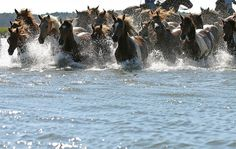 Chincoteague Pony Swim Wednesday July 24, 2013 on Eastern Shore of Virginia, We were there & adored the experience.
