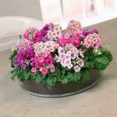Um jardim para cuidar: Primulas ! indispensáveis nos vasos e nos jardins nesta época