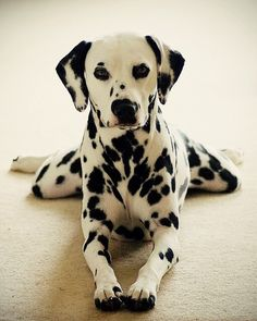 As a child, my favourite animal in the whole wide world, was the dalmation dog! Thanks to Disney's movies 101 Dalmatians I was absolutely obsessed with them.