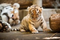Resim: An Amur tiger cub at the Pittsburgh Zoo (© Paul A. Selvaggio/Pittsburgh Zoo and PPG Aquarium/AP) Big Cats, Cats And Kittens, Cute Cats, Siamese Cats, Siberian Tiger Facts, Beautiful Cats, Animals Beautiful, Cute Baby Animals, Animals And Pets