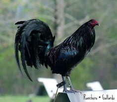 gallos y galleris facebook   Gallos y Galleros compartió la foto de Gallos Finos .