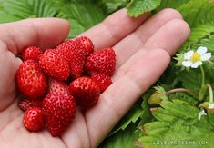 Tips on how to grow alpine strawberries. These fruit plants are either wild strawberries or closely related to them and produce tiny red berries Strawberry Plants, Fruit Plants, Outdoor Plants, Garden Plants, Organic Gardening, Gardening Tips, Alpine Strawberries, Green Tips, Red Berries