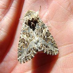 Western Yellow-striped Armyworm Moth, Spodoptera praefica