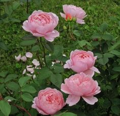 The Alnwick Rose (Ausgrab)