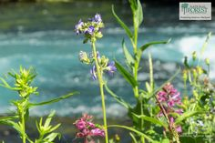 Deschutes National Forest. Summer wildflowers along the banks of the Metolius River. (photo by Karly Hedrick)