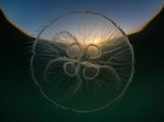 Angel M. Fitor - A Moon Jelly (Aurelia aurita) uses its solar compass to perform its daily vertical migration