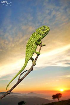 Mediterranean Chameleon, Chamaeleo chamaeleon - Spain on 500px by Matthieu Berroneau ☀ DSLR-A550-f/5-1/2000s-180mm-iso200, 632✱950px