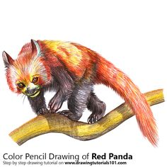 Red Panda with Color Pencils [Time Lapse]
