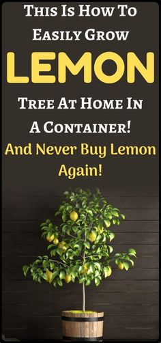 This is how to grow lemon tree in container at home. Lawn And Garden, Vegetable Garden, Garden Plants, Container Gardening, Gardening Tips, Container Homes, Lemon Tree From Seed, How To Grow Lemon, Plant Care