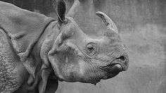 Rhino  http://5kwallpapers.com/wall/rhino  #nature #animal #rhino #wild #africa