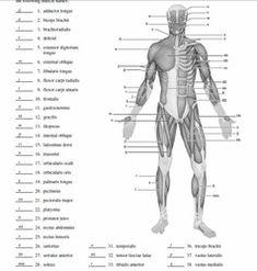 musculoskeletal system diagram diagram picture anatomy. Black Bedroom Furniture Sets. Home Design Ideas