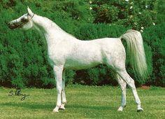 *Desert Shaikh (Shaikh Al Badi x AK Tarifa) Talon's maternal Grandsire