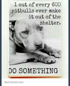 1 out of every 600 #pitbulls ever make it out of shelters! Do not breed them save them