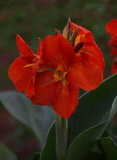 With large foliage and bright colored flowers this canna makes any home feel like an exotic escape. South Pacific Scarlet is a compact vigorous variety suited for containers and the garden. The large leaves add drama to the garden and once the blossoms emerge they'll provide lots of color and hummingbird appeal.