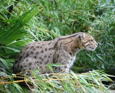 Researchers have launched a mission to find the Javan fishing cat, the rarest cat in the world.