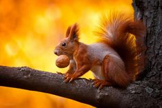 A squirrel with its trophy, Kharkiv, Ukraine. Not only do squirrels love walnuts, but their brain is about the same size!