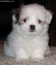 Dave's new dog obsession: Shorkies. We may be getting one of these whenever we get a pup! Shorkie Puppies, Dogs And Puppies, Yorkies, Puppys, Cute Baby Animals, Animals And Pets, Cute Dogs, Cute Babies, Squishies