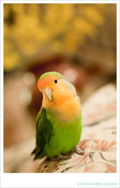 peach-faced lovebird. I miss my grandma, these birds will always remind me of her. She had so many of them haha she was the crazy bird lady