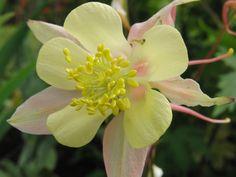 Mine planter: Aquilegia cultorum 'McKana Giant', Akeleie