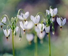 Shooting Star - Shooting star bears delicate, intricate flowers in spring. Unfortunately, this ephemeral goes dormant for the summer after blooming -- so site it with a companion so you don't have a bare spot of soil.