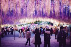 144-Year-Old Japanese Pink Wisteria Tree from article 17 Wonderful Trees That Prove Nature Is Capable Of Amazing Things