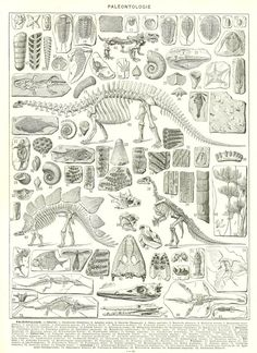 Here is a vintage paleontology print from a vintage 1936 French dictionary. This science illustration shows engravings of various fossils and skeletons, including dinosaurs. Thanks to the vagaries of alphabetical order, the reverse is printed with a beautiful map of Palestine as it was in the 1930s.  This fun fossils poster would be perfect for a lab or office decor or you can use it for your scrapbooking or collage project. The last picture shows an example of framing.  SIZE : approx. 21 x…