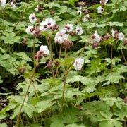 Geranium macrorrhizum 'Album' (Geranium 'Album') Geranium Macrorrhizum, London Garden, Geraniums, Perennials, Barn, Album, Landscape, Flowers, Plants