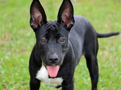 Lee County, FL Domestic Animal Services at (239) 533-7387 SHIEBA - ID#A598402 I am a spayed female, black and white Terrier mix. The shelter staff thinks I am about 4 months old. I have been at the shelter since Oct 10, 2014.