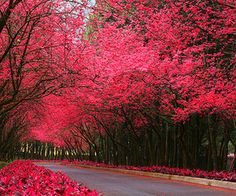 Pink Flowered Trees #nature