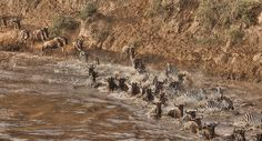 Wildebeast and Zebra race across the Mara River.
