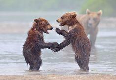 Duże niedźwiedzie uczą swoje młode jak żyć - Joe Monster