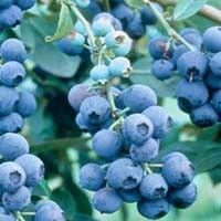 Powder Blue Blueberry Bush