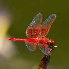 Dragonfly - Red Veined Dropwing ☮╰დ╮╭დ╯☮ ❥ Peace & ❥ℒℴνℯ❥☮Laughter ☮ And, Dr. Pepper, with a straw, please? ♫♫Memories...are made of this..♫♫