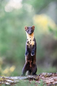 Learn how to photograph pine martens in this wildlife photography tutorial. Wildlife Photography Tips, Photography Basics, Photography Tips For Beginners, Photography Courses, Underwater Photography, Photography Tutorials, Cool Pictures, Cool Photos, Pine Marten