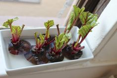 Don't compost those beet tops, sprout some beet greens!