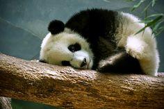 Panda Precious/The Fuller View